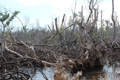 mangroves damaged by Yolanda_Bantayan Island, Cebu