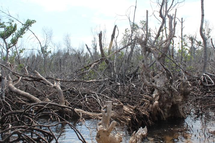 mangroves damaged by Yolanda_Bantayan Island, Cebu